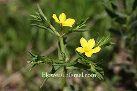 Flora of Israel: Linum nodiflorum