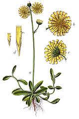 Jastrzębiec (roślina) – Wikipedia, wolna encyklopedia