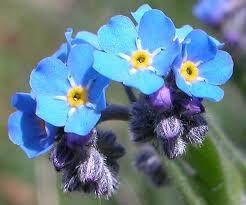 Myosotis Alpestris, Alpine and Mediterranean wildflowers, by ...