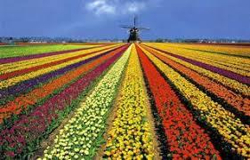 """Résultat de recherche d'images pour """"gifs tulipes de hollande"""""""