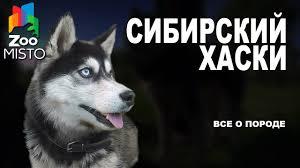 <b>Сибирский Хаски</b> - Все о породе собаки | Собака породы ...