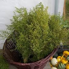 Image result for sweet annie plant