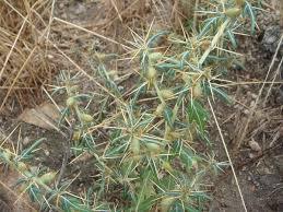 Xanthium spinosum - Wikipedia