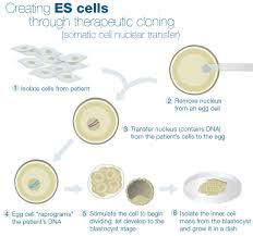 stem cell quick reference embryonic stem cell extraction