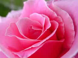 Bildergebnis für Damaszener Rose