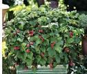 Images & Illustrations of raspberry bush