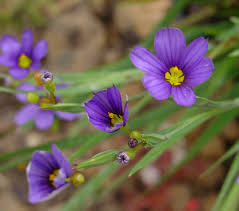 Sisyrinchium bermudiana - Wikipedia