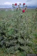 Carduus nutans - Bugwoodwiki