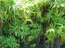Plants & Flowers » Rhapis flabelliformis