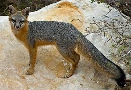 <b>Серая</b> лисица — Википедия