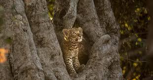 Nature | The <b>Leopard</b> Legacy | Season 39 | Episode 11 | PBS