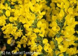 szczodrzeniec położony - Cytisus decumbens | Katalog roślin - e ...