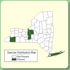 Bromus erectus - Species Page - NYFA: New York Flora Atlas
