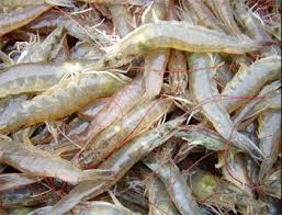 Image result for shrimp farming
