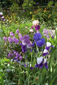 best images about monet s garden in giverny irises from monet s garden giverny