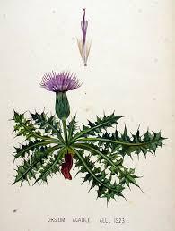 File:Cirsium acaule — Flora Batava — Volume v20.jpg - Wikimedia ...