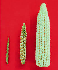 are gmos bad for your health if you re asking this question you teosinte ear zea s ssp mexicana on the left maize ear on the right and ear of their f1 hybrid in the center photo by john doebley