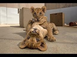 <b>Lion</b> Cubs - YouTube