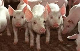 Resultado de imagem para vara de porcos