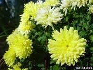 oxeye daisy: Leucanthemum vulgare (Asterales: Asteraceae ...