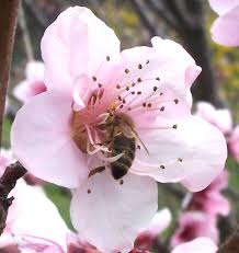 <b>List</b> of Northern American nectar sources for honey <b>bees</b> - Wikipedia