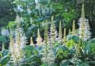 Images & Illustrations of bottlebrush buckeye