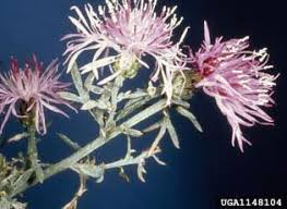 Spotted Knapweed | National Invasive Species Information Center ...