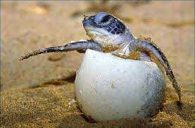 Image result for indian rocks beach sea turtles