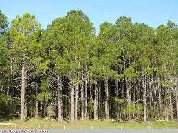 Resultado de imagen de imagenes de pinos
