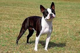 <b>Бостон</b>-<b>терьер</b> описание породы собак, характеристики ...