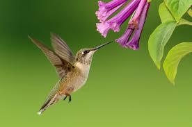 Plants that Attract Hummingbirds   The Old Farmer's Almanac