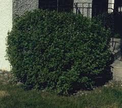 Shrubs   Plant Perfect   Bismarck, ND