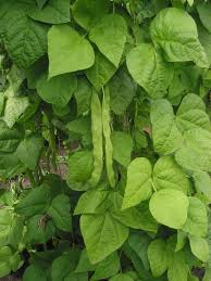 Phaseolus vulgaris - Wikipedia