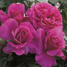 Pretty <b>Lady Rose</b>™ | Hybrid Tea Rose