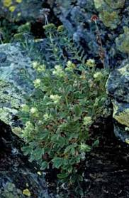 Potentilla grammopetala - Legge regionale 10 - Flora e piccola ...