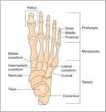bones in the foot diagram   anatomy human body    bones in the foot diagram tag bones of the foot anatomy quiz human anatomy diagram