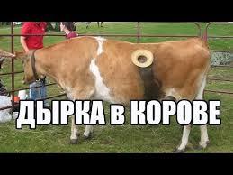 ДыРКА в <b>КОРОВЕ</b>.ЗАЧЕМ? - YouTube