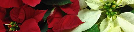 Poinsettia Care after Christmas | Backbone Valley Nursery