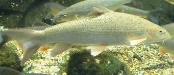 Common barbel