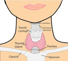 Image result for function of thyroid gland