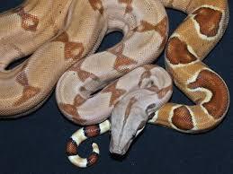 Resultado de imagen de boa constrictor pastel