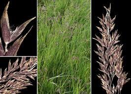 Agrostis schraderiana Bech. - Sistema informativo sulla flora delle ...