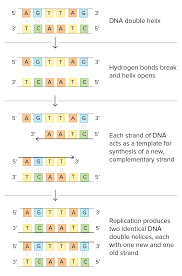molecular mechanism of dna replication article khan academy schematic of watson and crick s basic model of dna replication