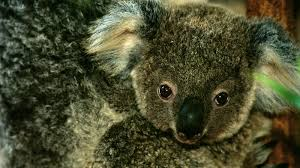 koala essay koala essay aqua ip koalas a photo essay travel koala essaykoala