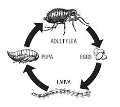 lifecycle of a flea diagramflea life cycle