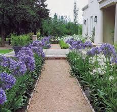 агапантус цветы и цветки