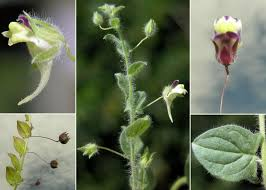 Kickxia elatine (L.) Dumort. subsp. elatine - Sistema informativo sulla ...
