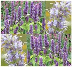 Image result for hyssop plant