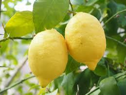 lemon tree x: free download lemon limone lemon tree citrus x limon