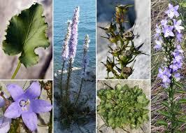 Campanula pyramidalis L. - Sistema informativo sulla flora ...
